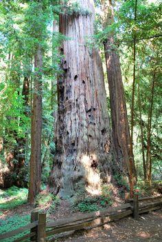 Henry Crowell Redwoods State Park  Santa Cruz, Ca.