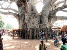 Resultados de la Búsqueda de imágenes de Google de http://tectonicablog.com/wp-content/uploads/2012/04/20090327214610-baobab-tree-allicooper.jpg