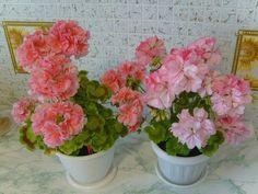 Rose of Amsterdam' и 'Jinky