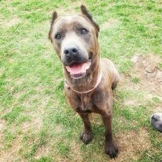 Foxie needs a home STAT. NEED FOSTER! Foxie, ACC survivor, in boarding since March. Beautiful brindle Cane Corso mix! Good with strangers, good with dogs (with intros). Older kids. Great on leash! Housetrained. Sweet, loving, cuddler! Loves car rides! UTD/spayed. PLEASE! In upstate NY, can transport. Contact reboundhounds@gmail.com.