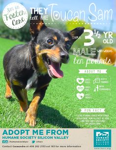 CHIHUAHUA MIX DOG AVAILABLE FOR ADOPTION | Toucan Sam A#: 10090 - Humane Society Silicon Valley - Milpitas, California