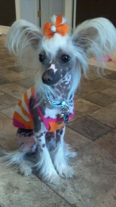 Fabulous Chinese Crested!