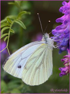 Cabbage White (Pieris rapae) Butterfly