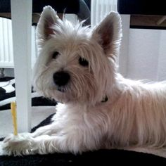 White Westhighland Terrier Trixie  Mahlzeit! Trixie und ihr Knochen, ein unzertrennliches Team         Mehr lesen: http://d2l.in/8s  dogs2love - Gassi gehen zum Verlieben. Partnerbörse für alle, die Hunde lieben.  Dating, Foto, Hund, Single