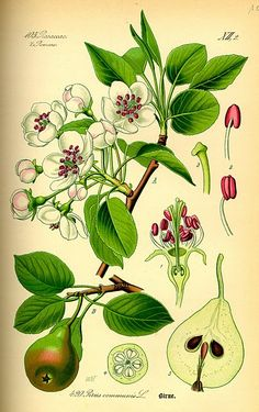 I heart botanical drawings. More