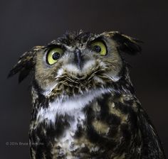 """Owl """"judging you"""" expression"""