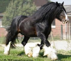 English Shire horse: In Medieval times, when personal armor was heavy, they were bred as war horses.
