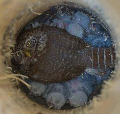 An owl and her chicks in their tree trunk nest.