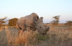Meet Sudan The Loneliest Guy & Last Male Northern White Rhino in the World