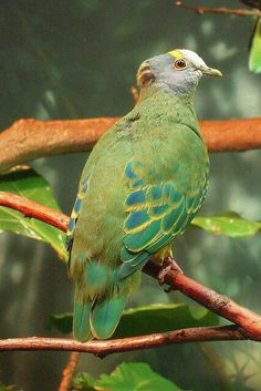 Ptilinopus coronulatus - Coroneted Fruit-dove (also known as the Lilac Capped Fruit Dove) at Central Park Zoo, USA. Photo by Elena Gaillard Kinds Of Birds, All Birds, Love Birds, Most Beautiful Birds, Pretty Birds, Exotic Birds, Colorful Birds, Dove Pigeon, Bird Pictures