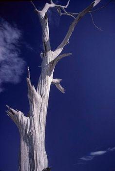 Dead Pine Near North Shore, Horn Island, Donald Bradburn, October 1971.  Love the blue and white contrast.