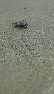 Saving endangered sea turtles at Playa Matapalo, Costa Rica