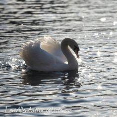 Ride a white swan  photo 3 of my #7daynaturechallenge  Taken in Alton very close to Jane Austen's house.  #jaketalbotinvestigates #JTI #amwriting #writersofinstagram #writerslife #bird #bestbirdshots #bestbirds #bestnatureshot #birdsofbritain #instabird #ig_birds #ornathology #featheredfriends #nuts_about_birds #naturelovers #swan #photooftheday #amazingcaptures #nature #lovethis #birdsofinstagram #rspb_love_nature #birdphoto #white
