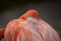 Red Flamingo at the San Diego Zoo