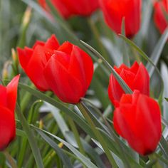 Various species tulips - hardy, spreading, long-lived