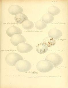 Zur Fortpflanzungsgeschichte der gesammten Vögel Dresden,[1856?]. biodiversitylibrary.org/page/13663338