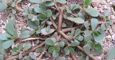 Growing habit of Portulaca oleracea. Portulaca Oleracea, Small Yellow Flowers, Fresh Flowers, Colorado, Weeds In Lawn, Diy Trellis, Healing Herbs, Urban Farming, Gardens