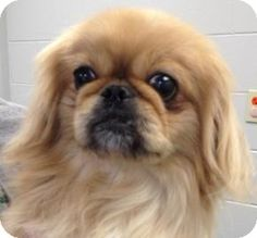 Mt. Pleasant, MI - Pekingese Mix. Meet Lola, a dog for adoption. http://www.adoptapet.com/pet/11103090-mt-pleasant-michigan-pekingese-mix