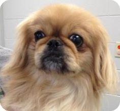Mt. Pleasant, MI - Pekingese Mix. Meet Lola, a dog for adoption. http://www.adoptapet.com/pet/11103090-mt-pleasant-michigan-pekingese-mix