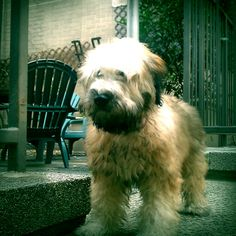 Maggie - Wheaten Terrier - Behind Building