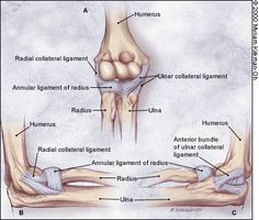 Ligaments of the elbow - Evaluation of Overuse Elbow Injuries - American Family Physician