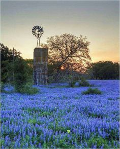 Poteet, TX with early morning bluebonnets and windmill.