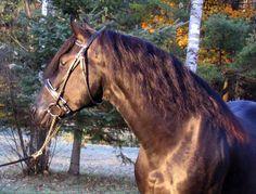 Canadian Horse stallion Bromont Coco Alex