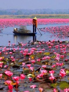 Thailand - water lilies