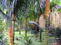 Dypsis pilulifera (Dypsis 'Orange Crush') - native to Madagascar - grows to 30m
