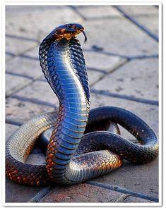 The king Cobra Serpent Venimeux, Serpent Animal, Cute Reptiles, Reptiles And Amphibians, Mammals, Nature Animals, Animals And Pets, Cute Animals, Cobra Royal