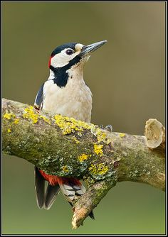 Great Spotted Woodpecker (Dendrocopos major), Worcestershire, February 2013, via Flickr.