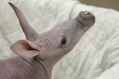 A 5-week-old aardvark inspects his surroundings after a routine examination at the Chicago Zoological Society's Brookfield Zoo in Illinois.