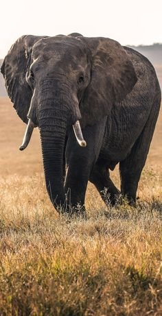 of a majestic elephant Picture of a majestic elephant.Picture of a majestic elephant Picture of a majestic elephant. Two circus elephants reunited after 22 years apart at the Tennessee Elephant Sanctuary. Elephant on the plains Baby Wild Animals, Wild Animals Attack, Wild Animals Videos, Wild Animals Pictures, Animal Attack, Jungle Animals, Cute Animals, Cute Elephant Pictures, Elephant Images