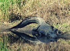 Florida gator sunning