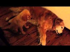What This Puppy Does After Noticing The Old Dog Having A Nightmare Is ADORABLE! And At 0:42…OMG!