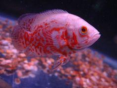 Albino tiger oscar (my girlfriend's mom has a pretty massive one of these) Tiger Fish, Oscar Fish, Fish Breeding, Pink Fish, Siamese Fighting Fish, Marine Fish, Beautiful Fish, Cichlids, Albino