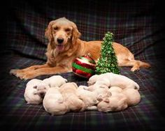 Our puppy !Golden Retriever Puppies Ready Christmas Eve   24492069