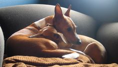 During my Basenji's last year of life, we got him a puppy. - Imgur