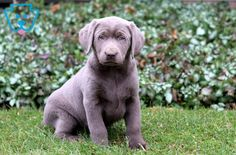She is a Silver Labrador Retriever ready to meet her Fur-ever friend. Silver Labrador Retriever, Retriever Puppies, Puppies For Sale, Cute Puppies, Cute Borders, Cute Baby Animals, Border Collie, Cute Babies, Angel