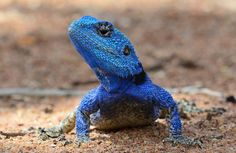 """libutron: """" Black-necked Agama - Acanthocercus atricollis This handsome guy is a Black-necked Agama, displaying its bright blue head to impress some females. This lizard is scientifically named Acanthocercus atricollis (Agamidae), and is also. Beautiful Snakes, Animals Beautiful, Reptiles And Amphibians, Mammals, Tanzania, Big Iguana, Frog Pictures, Frog Pics, Small Lizards"""