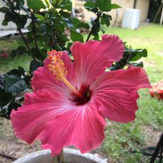 Today's hibiscus bloom