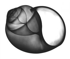 shell by Albert Koetsier, what complexity in simplicity
