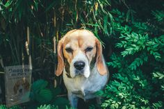 Attention, Beagles, Dogs, Personality, Dog Breeds, Animaux, Beagle Dog, Hunters, Candy Bars