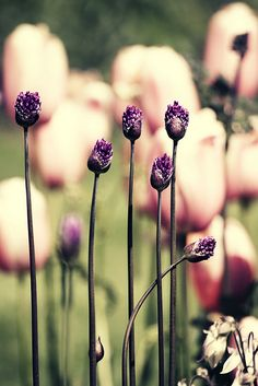 tulips and little purple buds