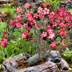 The Desert Rose Adenium is one of my favorite plants. And personally i think its a must have!