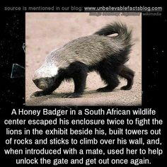 A Honey Badger in a South African wildlife center escaped his enclosure twice to fight the lions in the exhibit beside his, built towers out of rocks and sticks to climb over his wall, and, when. Beautiful Creatures, Animals Beautiful, Unusual Facts, Interesting Facts, Fascinating Facts, Facts About Humans, Wtf Fun Facts, Random Facts, Random Stuff