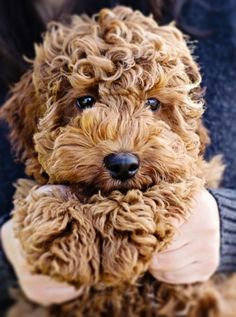 curly pup