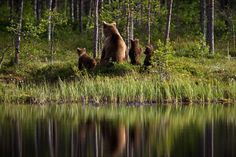 A bear family in the woods east from Lake Oulujärvi, Finland/ June 2018 Brown Bear, Finland, Natural Beauty, Scenery, Around The Worlds, Woods, Nature, Bears, June