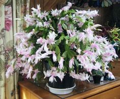 Thanksgiving Cactus Christmas Cactus Easter Cactus: Whats the Difference? Orchid Cactus, Cactus Flower, Flower Pots, Cactus Cactus, Cactus Decor, Cactus Planta, Cactus Y Suculentas, Christmas Cactus Care, Easter Cactus