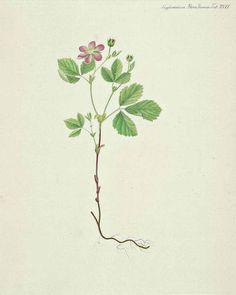 Rubus arcticus L. Flora Danica, Suppl. [G.C. Oeder et al], vol. 1: t. 17 (1839)